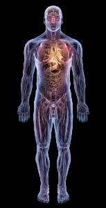 Human_Anatomy_Trans-153x300